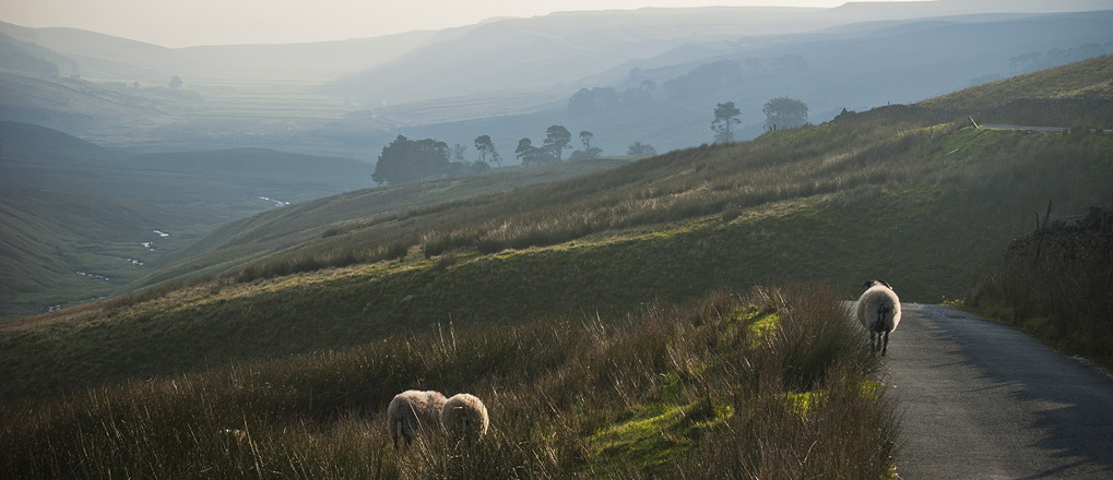 Sheep in Yorkshire Dales field